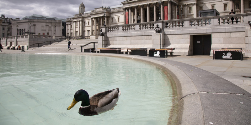A duck in a pond at a Trafalgar Square, London