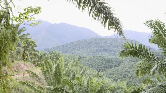 Plantation and palm trees